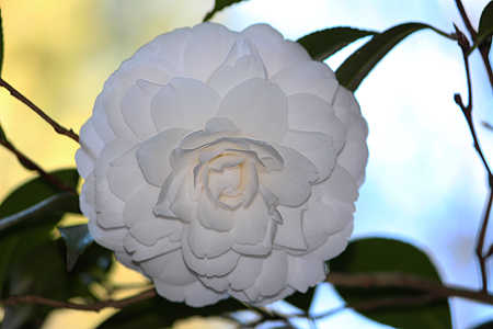 Lisgar Gardens, best Camellia gardens